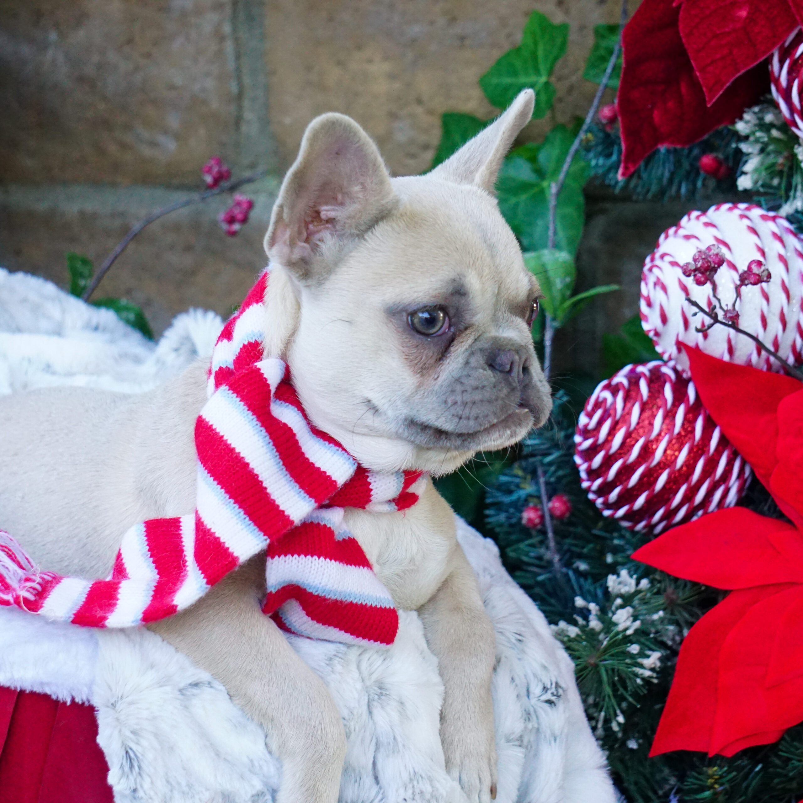 tan french bulldog puppy with christmas decorations