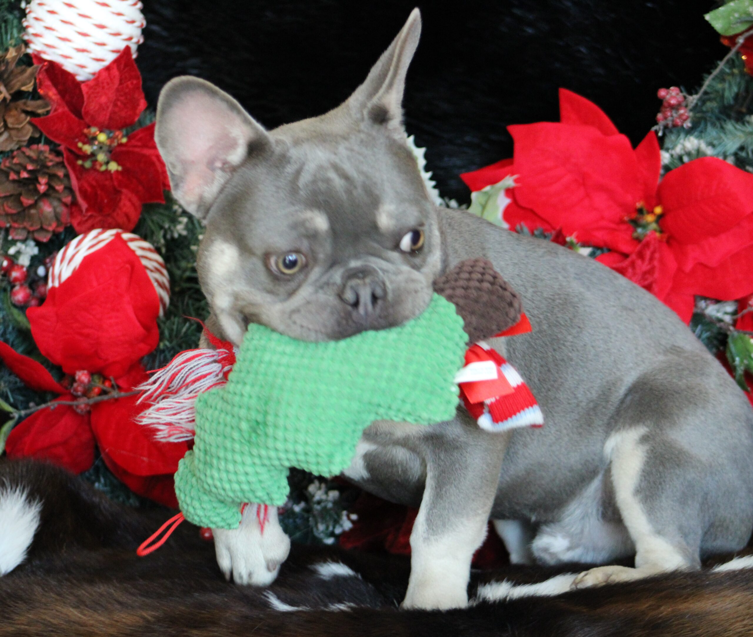 french bulldog puppy with christmas decorations