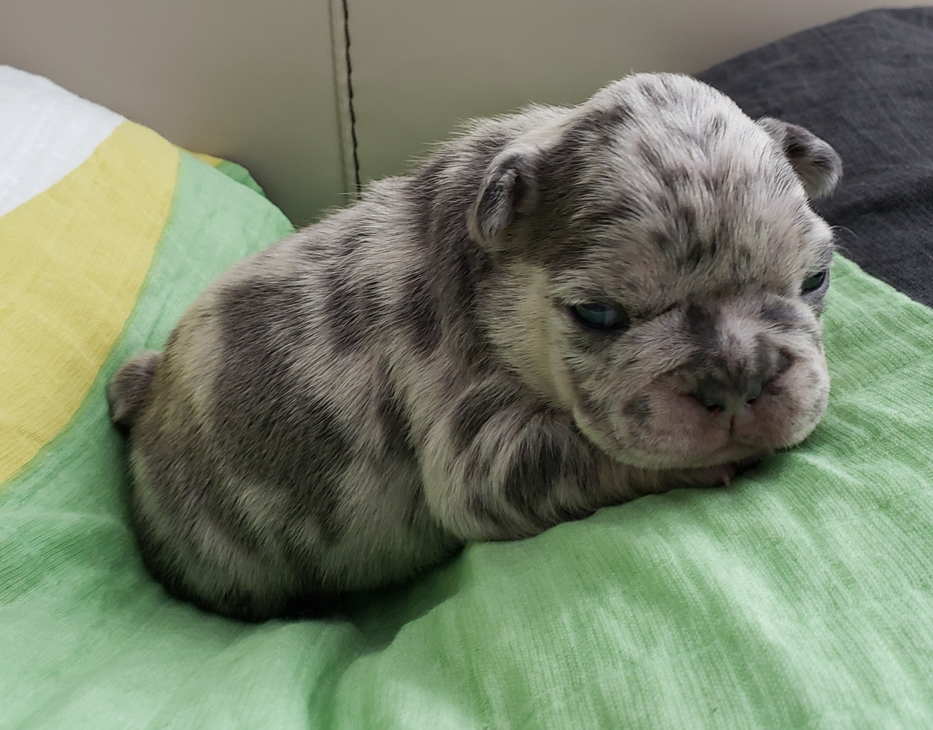 Multi Color Gray Puppy on Green Blanket