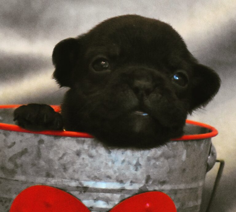 French Bulldog in Heart Cup