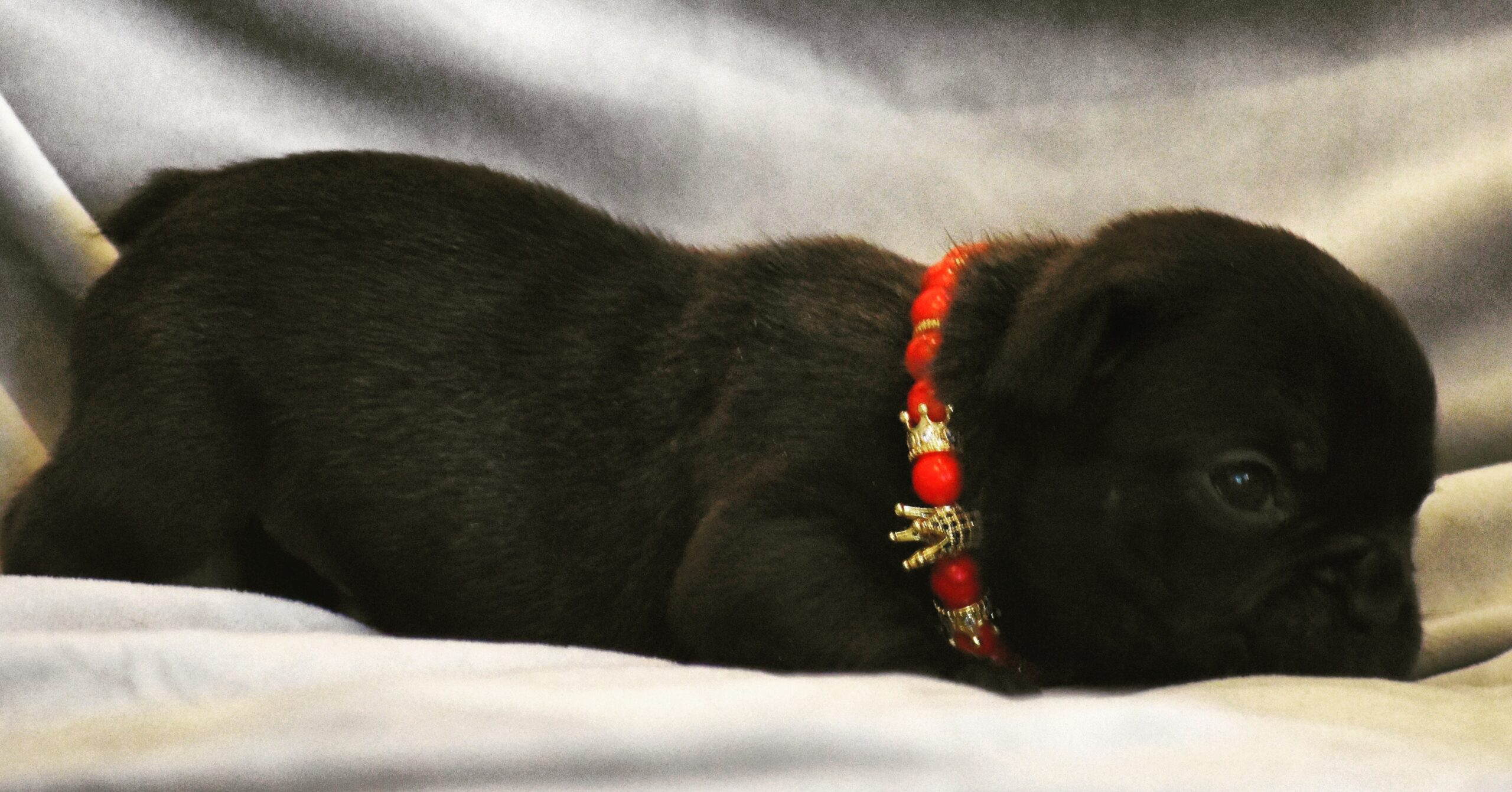 Black French bulldog with Red Beaded Collar