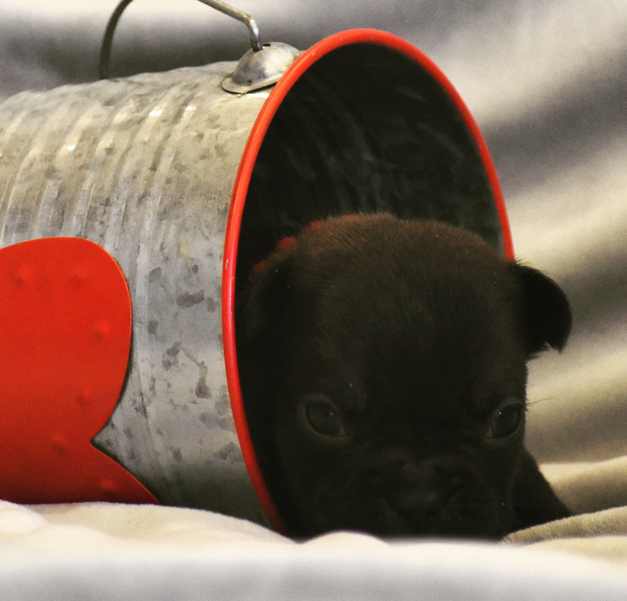 French Bulldog in Cup Falling Over