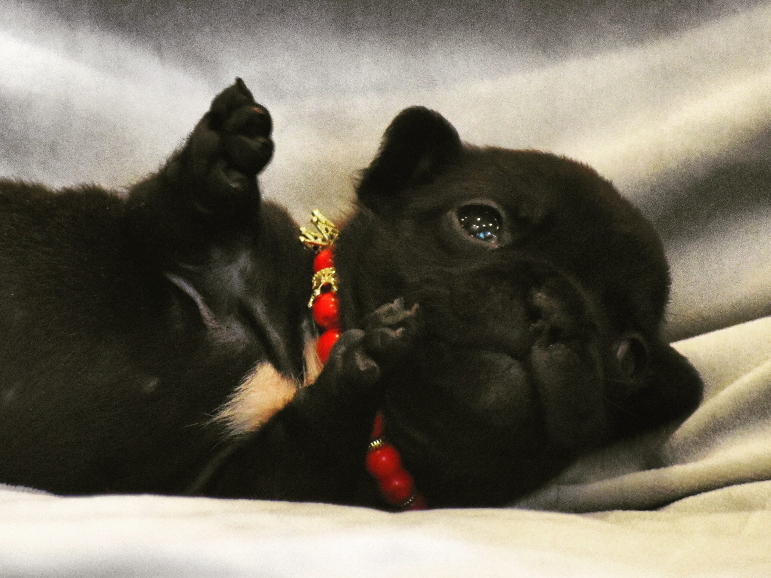 Black French Bulldog Laying Down with feet Up