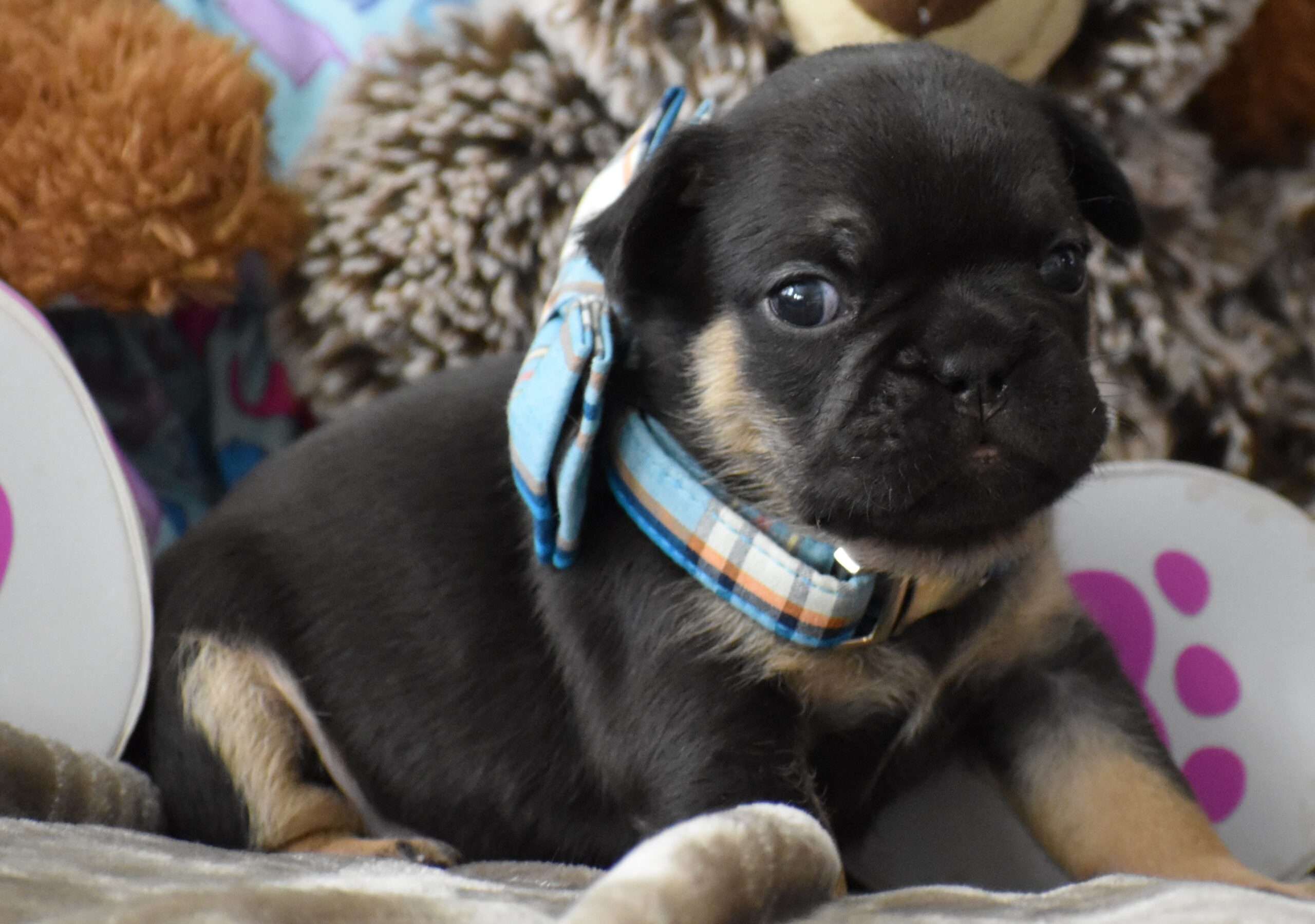 Black Puppy Sitting with Blue Bow Side