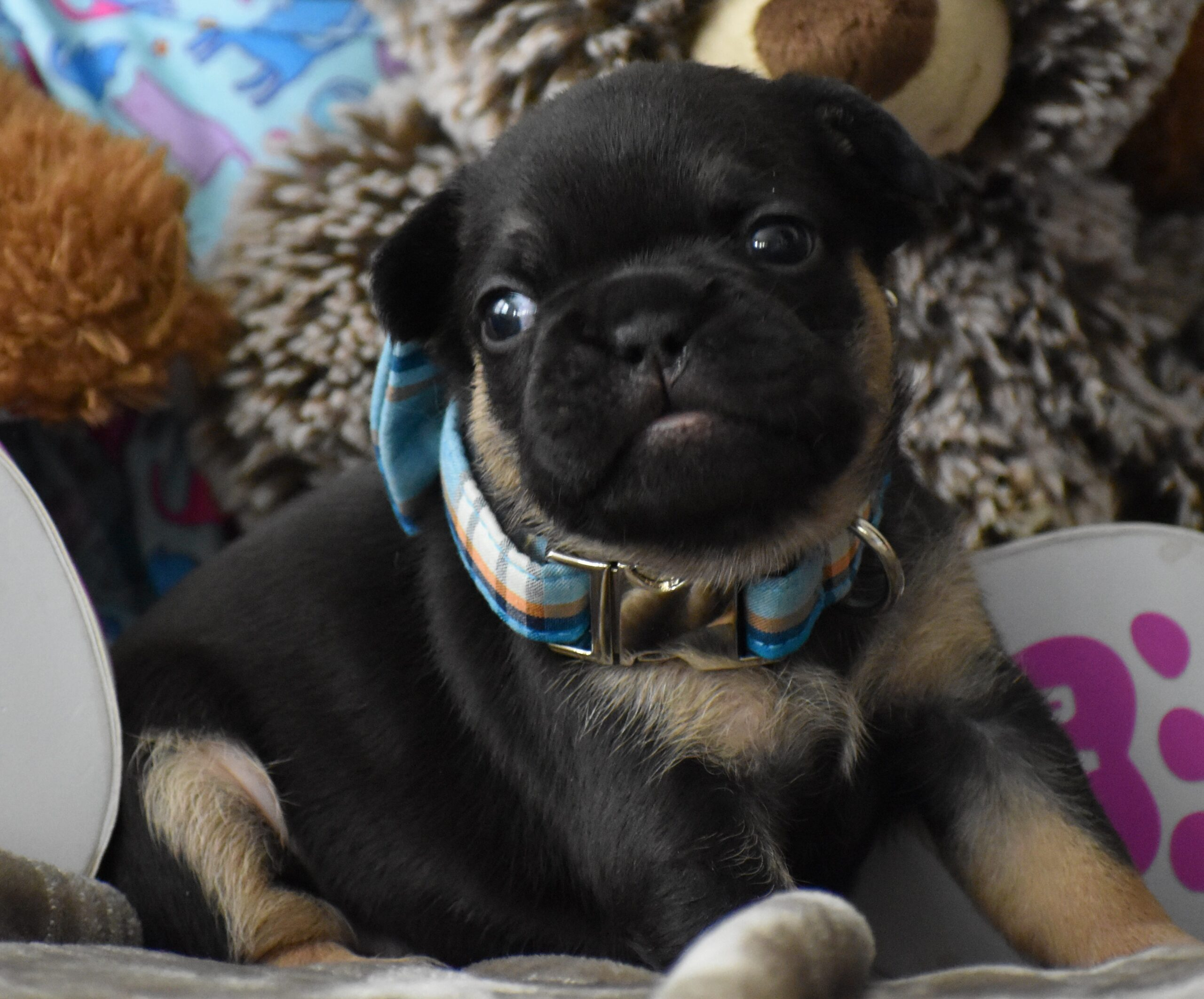 Black Puppy with Blue Bow