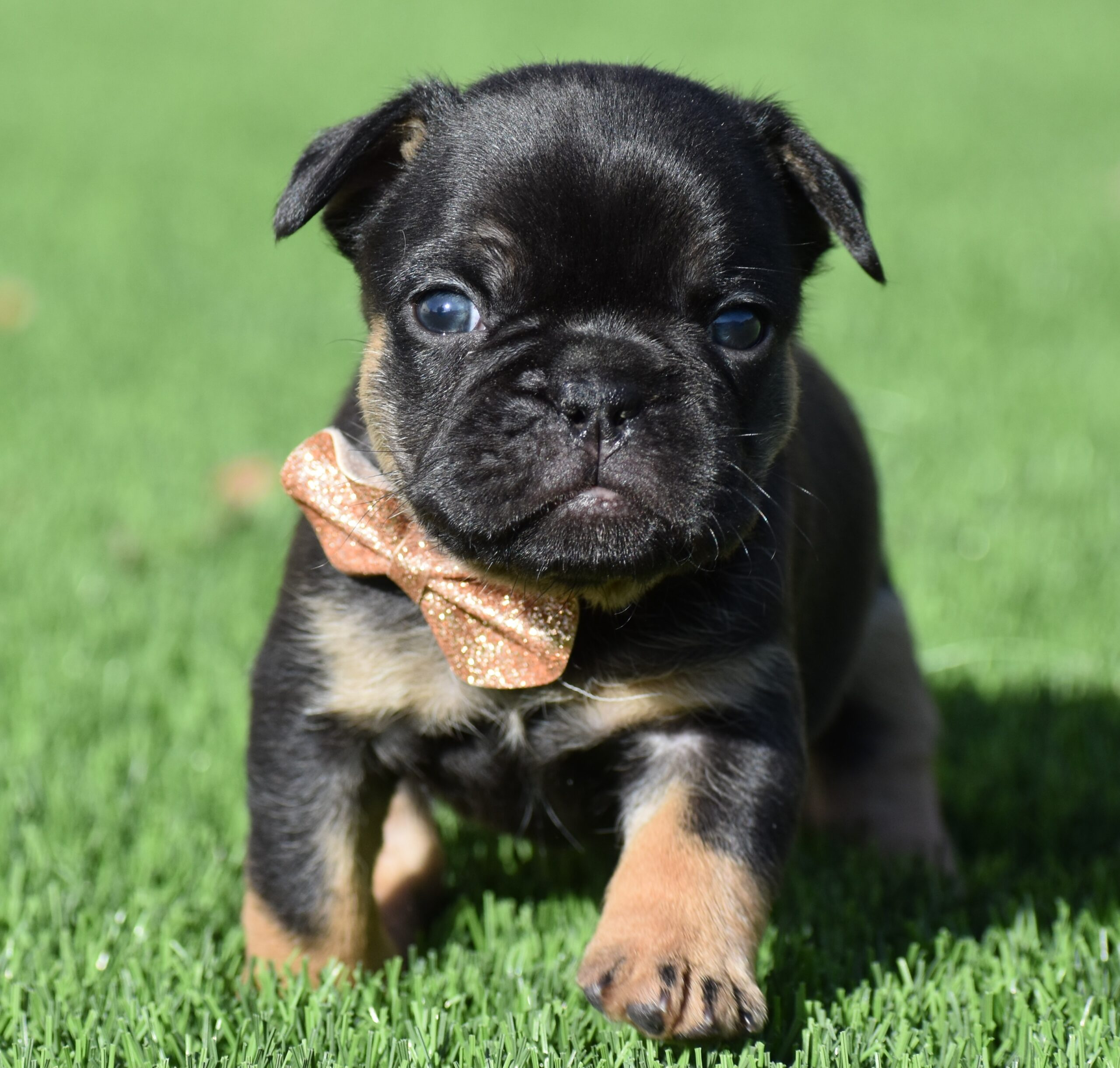 Black French Bulldog from Front