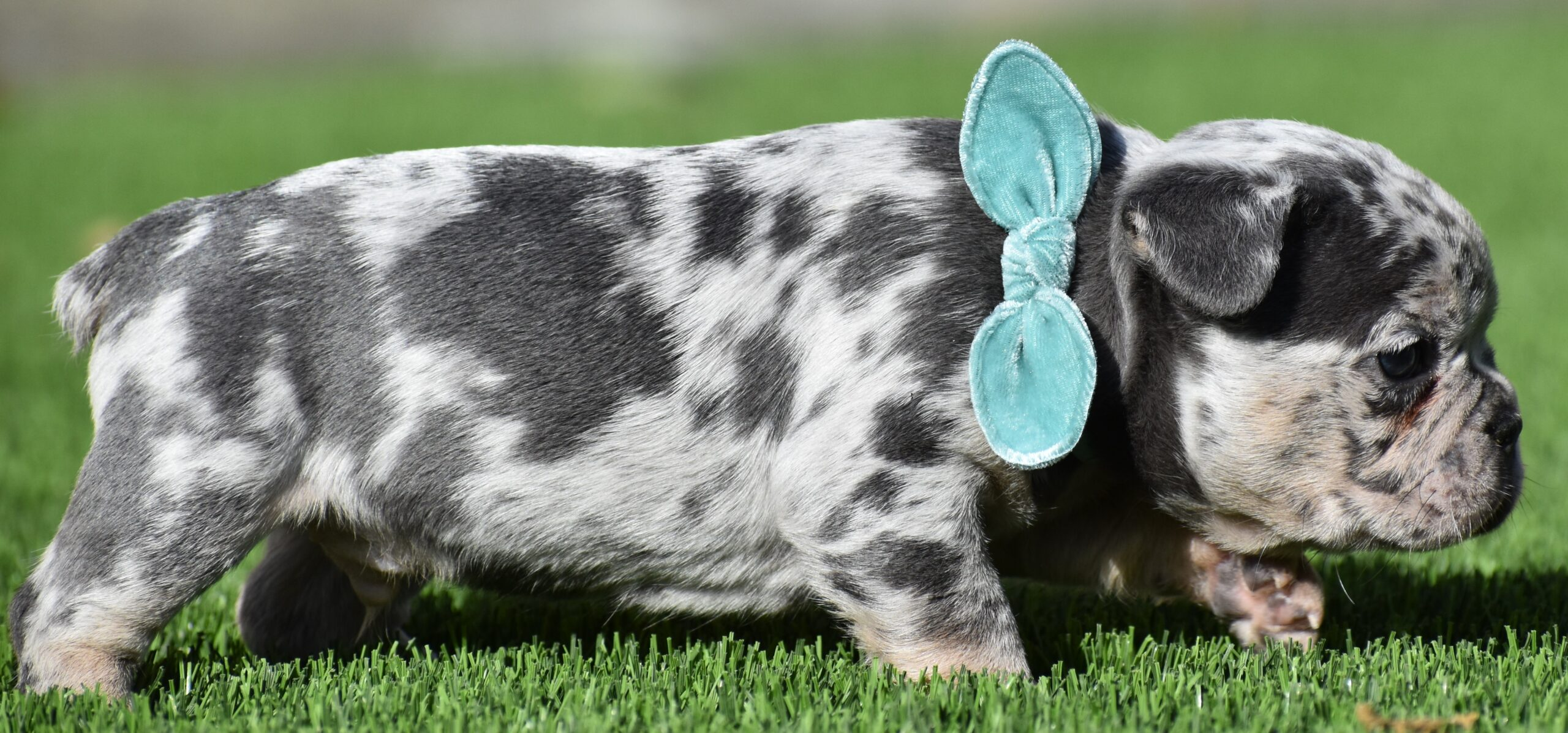 Puppy with Light Blue Bow Side
