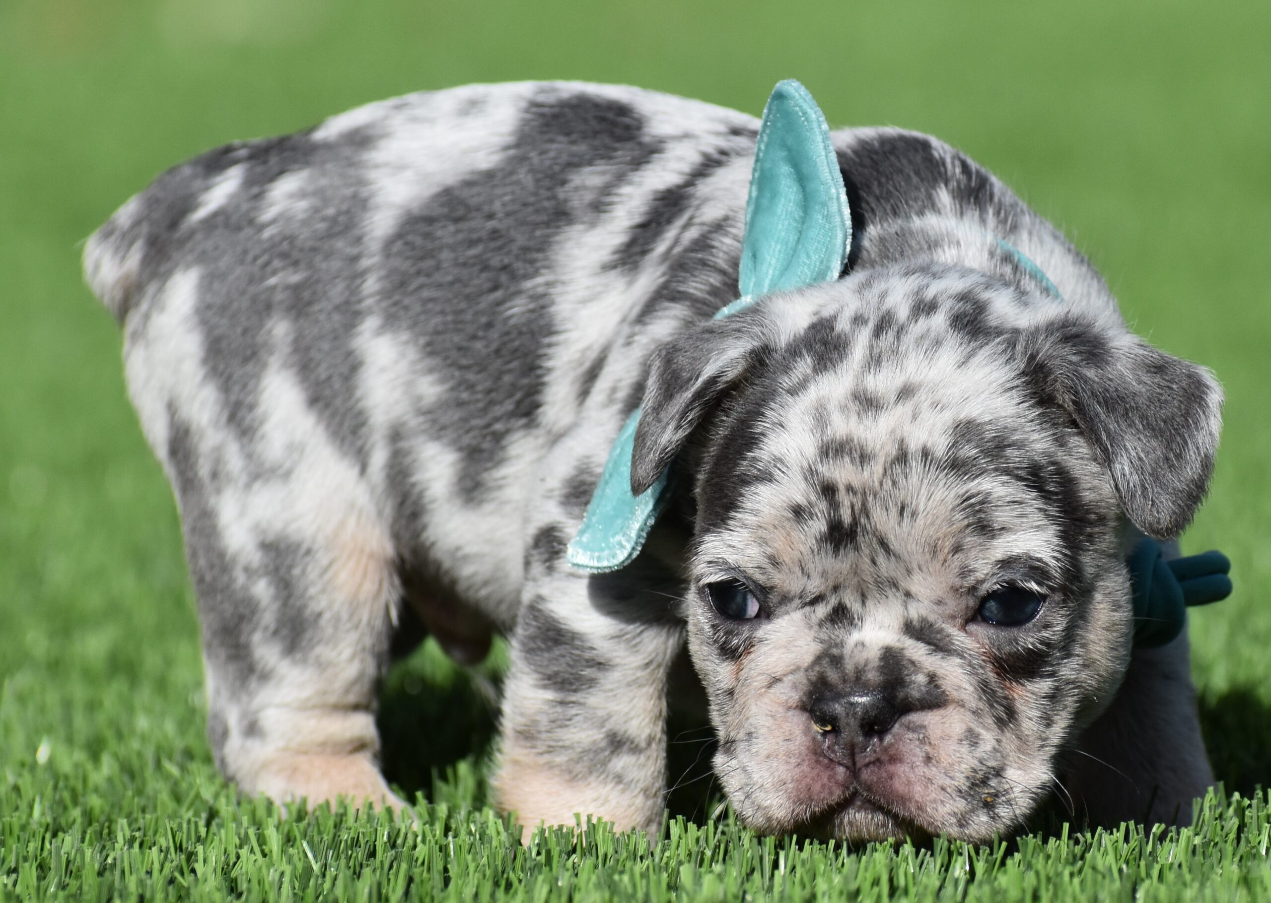 Puppy with Light Blue Bow