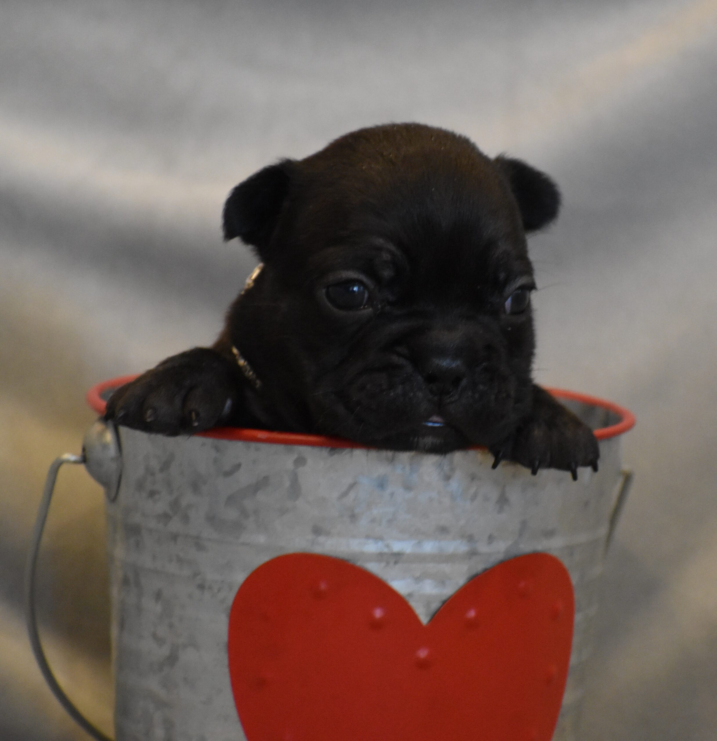 French Bulldog in a Cup