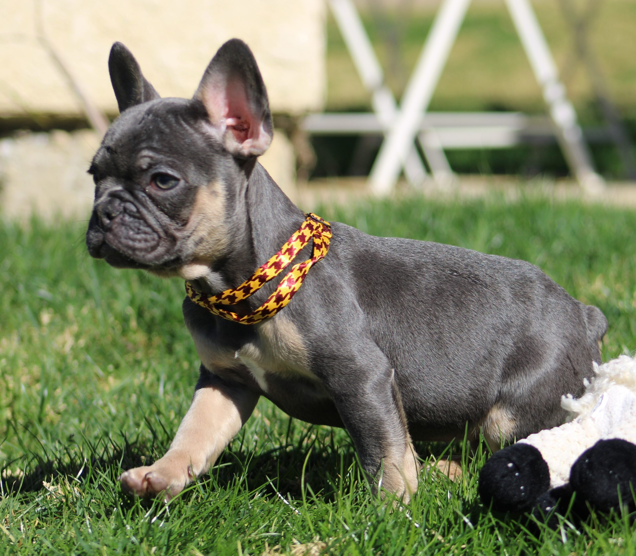 Yellow and Red Collar French Bulldog in Grass