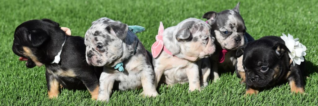 Group of French Bulldogs Outdoors