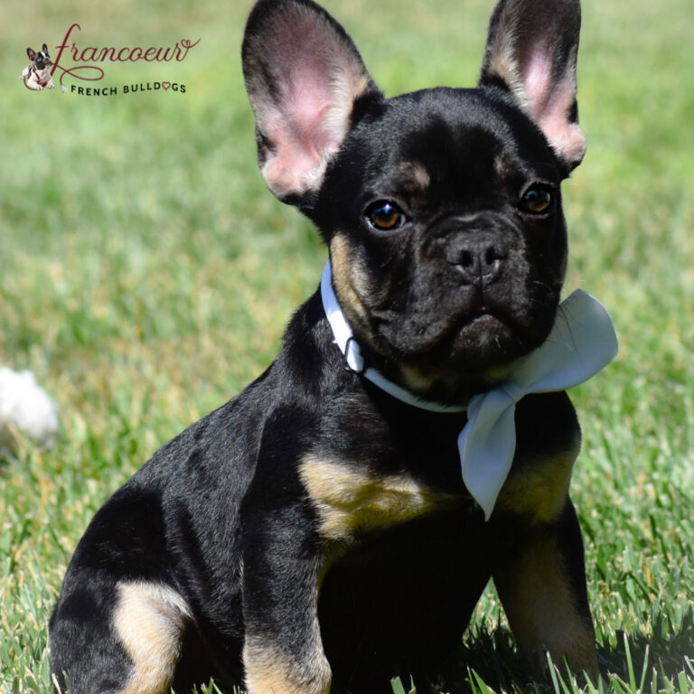 brown and black french bulldog puppy