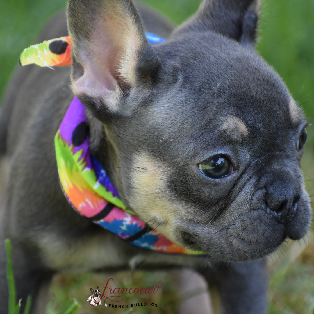 black and brown french bulldog puppy