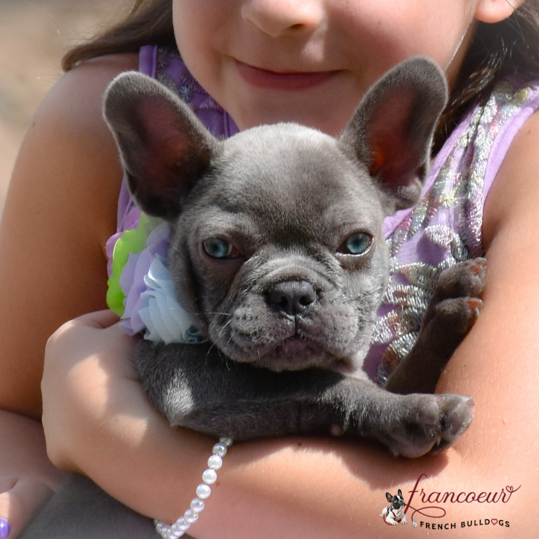 Training at Francoeur Frenchies Kennel